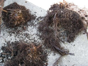 Fern roots to transplant