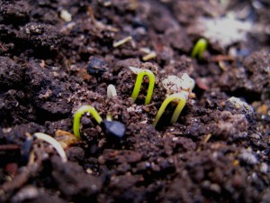 onion-seed-sprouts